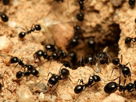 plaga-de-hormigas
